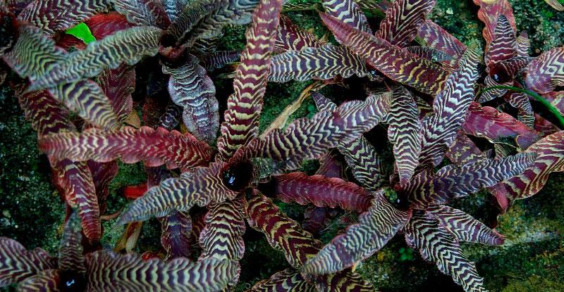 Видовое разнообразие бромелиевых